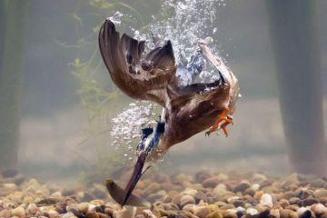 Le spettacolari immagini subacquee di un martin pescatore che cattura la preda