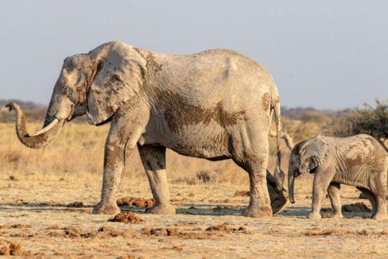 femmina di elefante che salva un cucciolo da morte certa