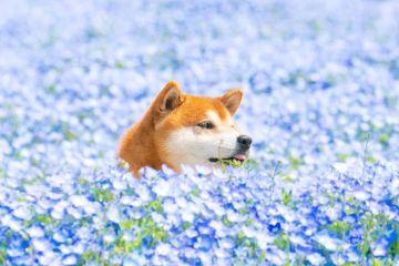 I coloratissimi campi di fiori giapponesi e la simpatia del cane Hachi nelle foto di Masayo Ishizuki