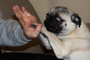 Cibi dannosi per i cani. Dieci alimenti pericolosi che non dovresti mai permettere di mangiare al tuo cane