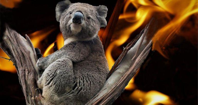Koala tra il fuoco