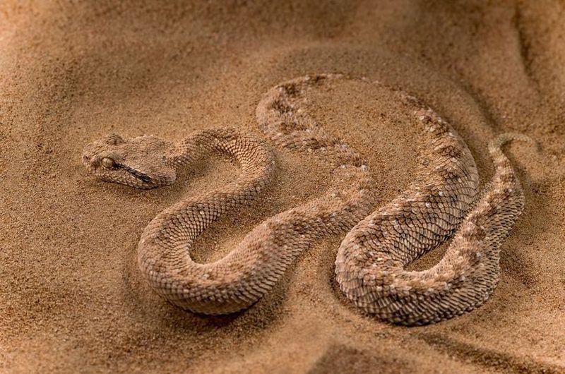 Vipera cornuta del deserto