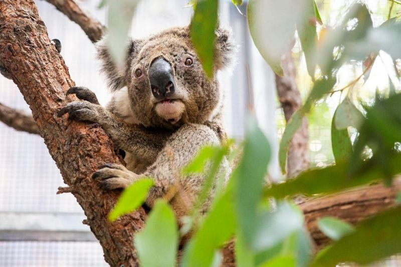 Koala nello zoo In australia