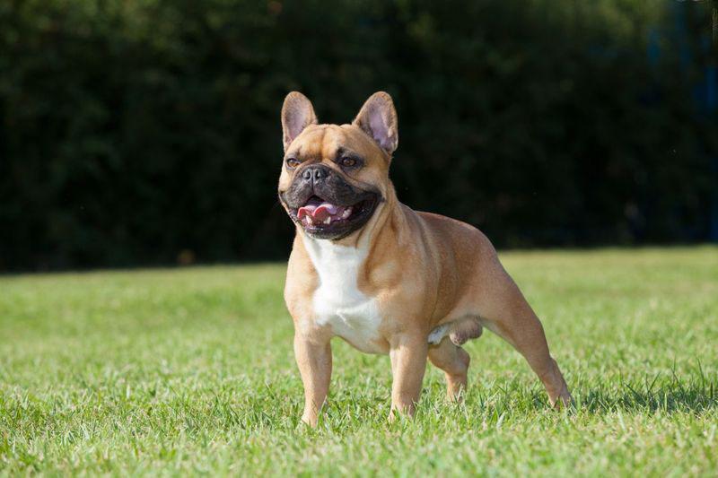 Cura del bulldog francese