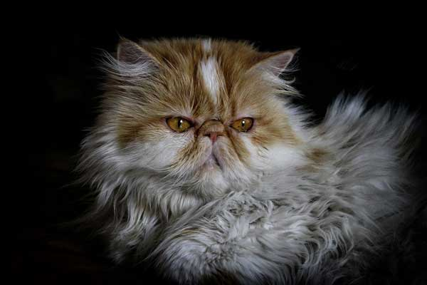 gatto-persiano-seduto