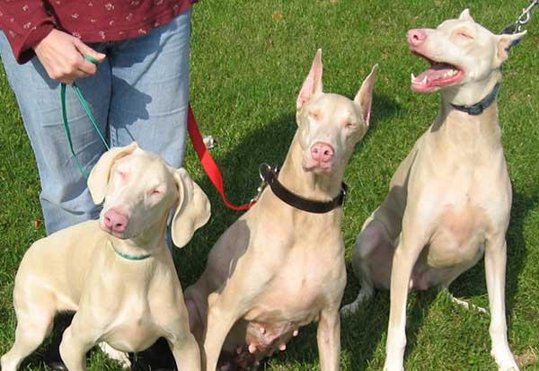 tre dobermann