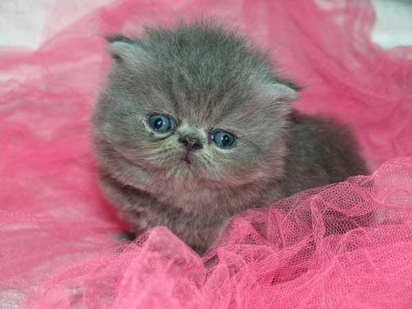 gatto-persiano-cucciolo