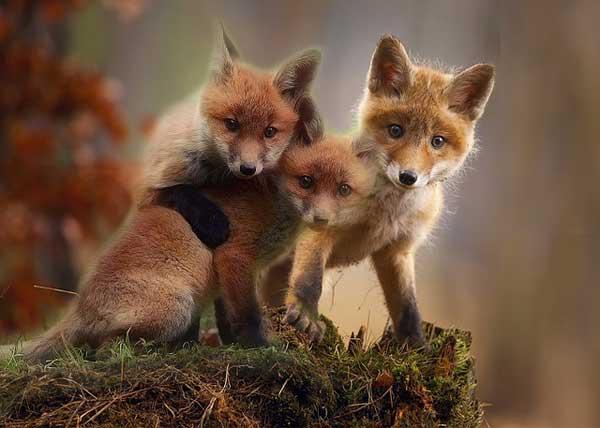 volpe cuccioli