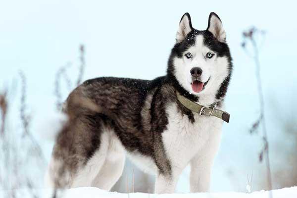 siberian husky figura intera sulla neve