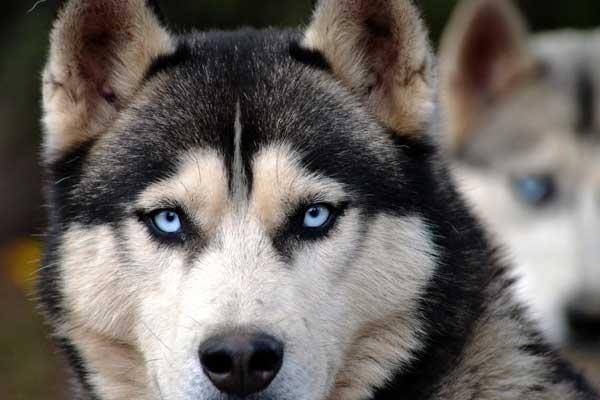 siberian husky primo piano occhi
