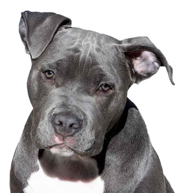 American pitbull terrier primo piano