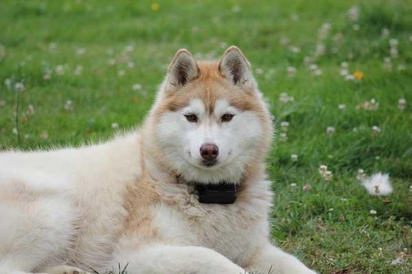 siberian husky bianco e rosso
