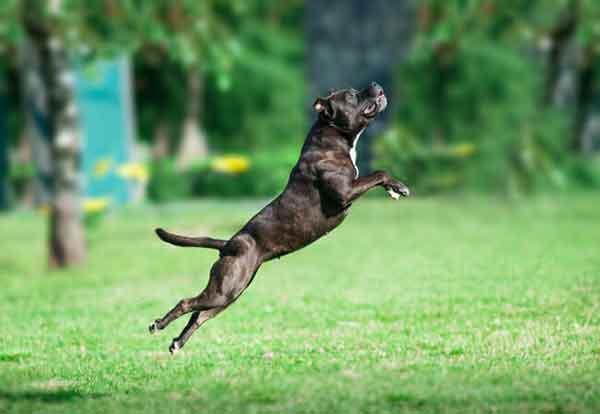 American pitbull terrier che salta