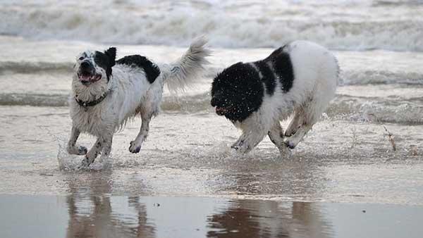coppia cani che corre