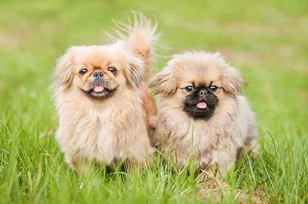coppia cani pechinesi a sedere