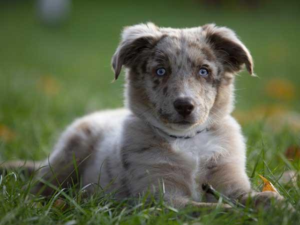 cucciolo occhi azzurri seduto