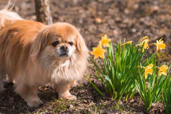 cane pechinese marrone