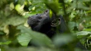 Chimpanzés critique3