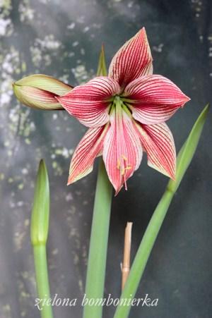 Hippeastrum 'Exotic star'