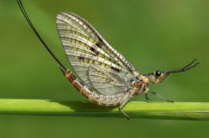The Lifespan Of A Mayfly - Swarm Of Mayflies Latest Threat To Motorcyclists, Says NY and PA Motorcycle Law Lawyer