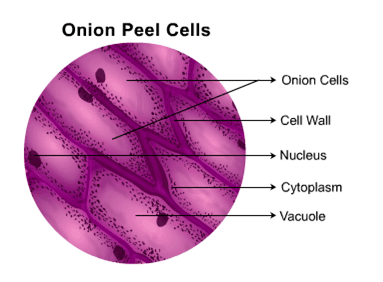 onion cell diagram cat5 home network wiring draw of peel as it is seen through microscope from the fundamental unit life
