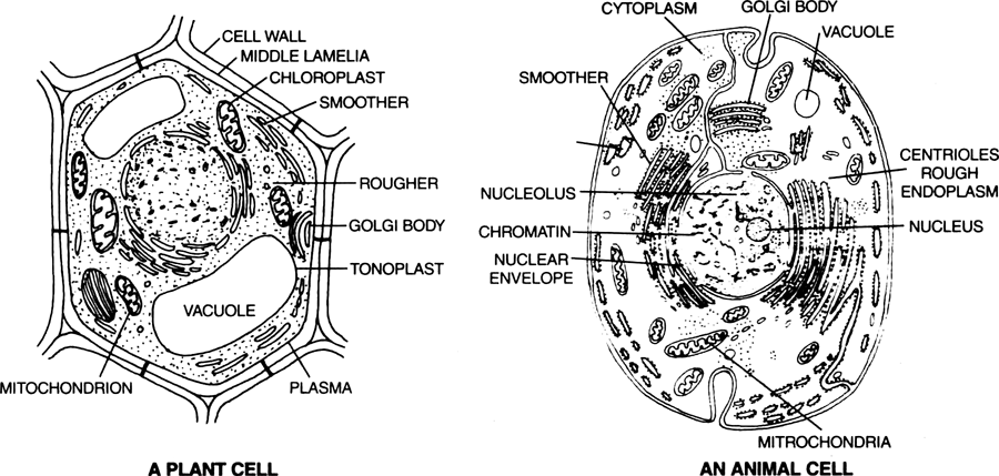 Draw diagrams of plant cell and animal cell. from Biology