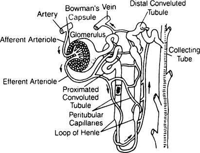 Describe the structure of Nephron. from Biology Excretory