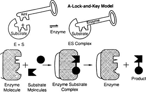 Describe. lock and key hypothesis. from Biology