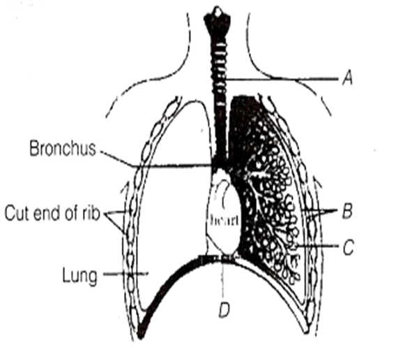 Important Questions of Breathing and Exchange of Gases for