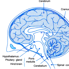 Labelled Diagram Of Human Brain Obd2 Wiring Ford Draw A Section From Science