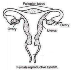 (a) Draw a sectional view of human female reproductive