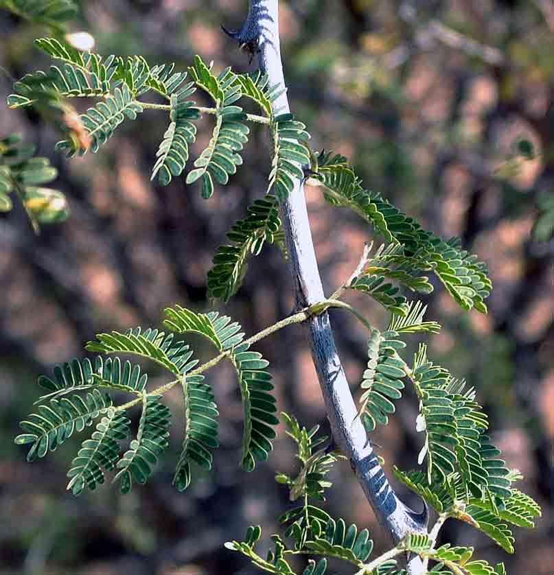 acacia senegal burkina acacia senegal by tree nationcom acacia senegal tree seed pods niger