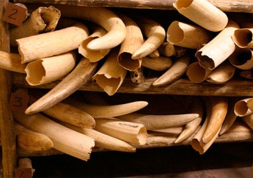 Police recover elephant tusks