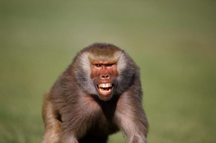 CLIENTS TERRORIZED AS N'ANGA UNLEASHES BABOON TO COLLECT DEBT