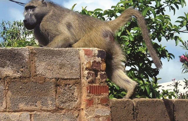 Funeral proceedings stopped after baboon went berserk