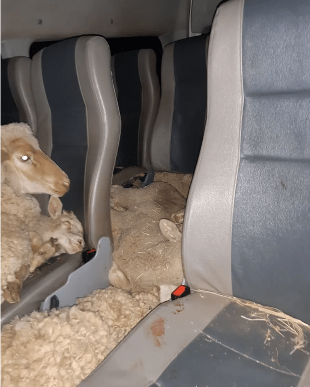 Stock Theft Gang Busted As 30 Sheep Are Discovered In Kombi