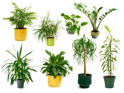 Wohnzimmerpflanzen bestellen  Pflanzen kaufen fr das Wohnzimmer