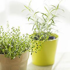 ZimmerpflanzenPortal  Ratgeber zur Pflege und Bestimmung der Zimmerpflanzen