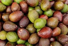 Photo of Avocados – an edge for horticultural exporters