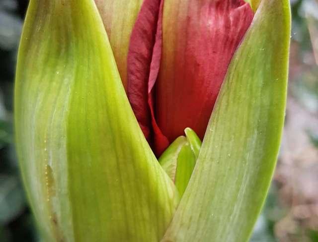 Bloemknop van een amaryllis als beeld van de kracht die ook in jezelf zit.