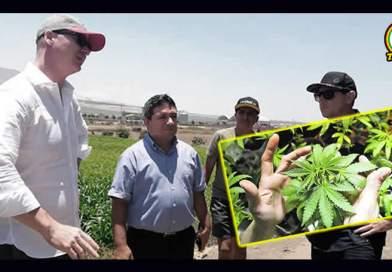 Moche promueve la siembra de marihuana a través de inversión privada