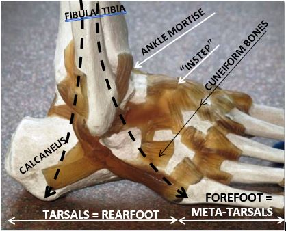 The bones and joints of the foot and ankle.