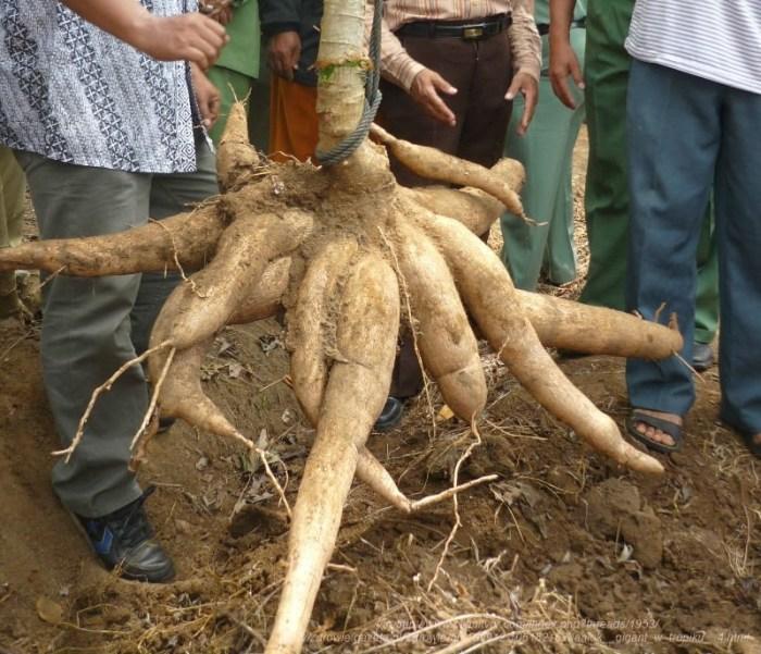 korenina manioke 25