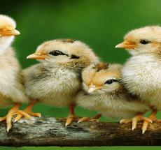 Kienyeji chicks