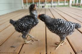 KARI chicks - 4 Weeks old Image