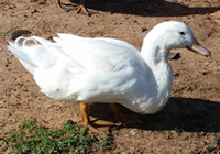 Pekin duck in kenya