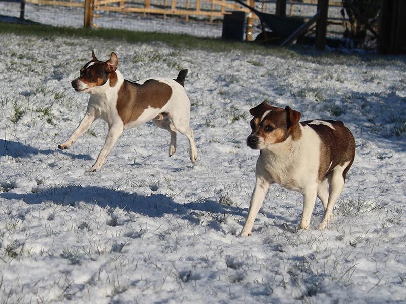 Hunde i sneen