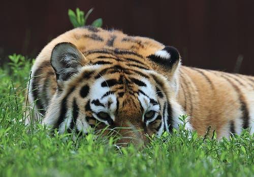 siberian-tiger2