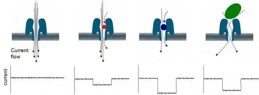 This diagram shows a protein nanopore set in an electrically resistant membrane bilayer.  An ionic current is passed through the nanopore by setting a voltage across this membrane. (c) Oxford Nanopore Technology