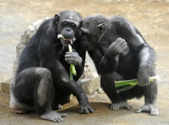 Chimpanzees munch on leek at Tokyo's Tam